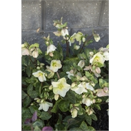 170mm Hellebore - Helleborus Molly's White