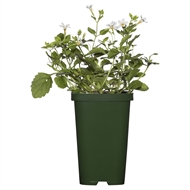 70mm Tubestock Bacopa White - Bacopa Snowflake