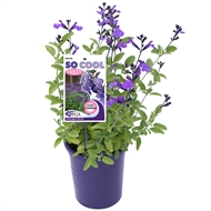 140mm So Cool Violet - Salvia