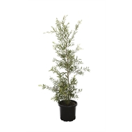 330mm Kings Park Special - Callistemon