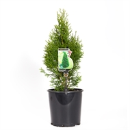 200mm Conifer 'Smaragd' - Thuja occidentalis