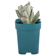 105mm Assorted Succulent 'Bright N Easy Range'