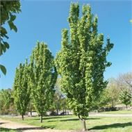 45L Ornamental Pear Capital - Pyrus calleryana
