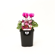 100mm Cyclamen Mini - Cyclamen hybrids