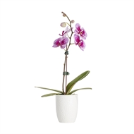 100mm Moth Orchid - Phalaenopsis Orchid with Ceramic Pot