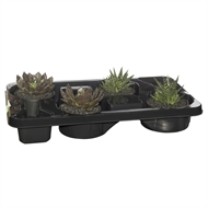 130mm Mixed Varieties Succulent - Tray of 4