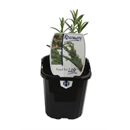 95mm Rosemary - Rosmarinus officinalis - Food For Life Range