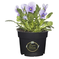 125mm Potted Colour Viola Blue - Tray Of 12