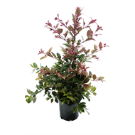 140mm Crimson Lights - Syzygium australe