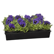 125mm Potted Colour Pansy Blue - Tray Of 12