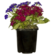 140mm Potted Colour - Assorted Varieties