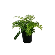140mm Maidenhair Fern - Adiantum fragrans