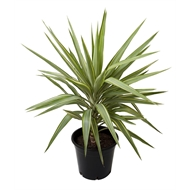 190mm Yucca Variegated - Yucca elephantipies Variegated