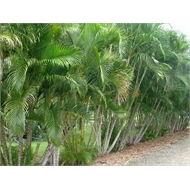 250mm Golden Cane Palm - Chrysalidocarpus lutescens