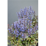 140mm Chocolate Chip - Ajuga reptans - Shade Solutions