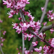 75L Forest Pansy - Cercis canadensis