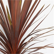 270mm Cordyline Red Star - Cordyline australis