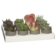 65mm Succulent In Brown Two Tone Ceramic Pot - Tray Of 12