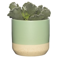 65mm Succulent In Green Two Tone Ceramic Pot - Tray Of 12