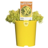 140mm Assorted Low Care Plants 'Survivor Series'