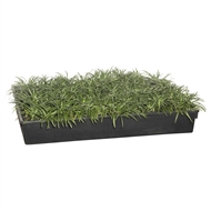 65mm Nana Mini Mondo Grass Tray Of 40 - Ophiopogon Japonicus