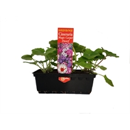 Gold Flowering Annuals Seedling Punnet Range