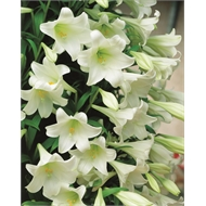 Bloomin' Bulbs Lilium White Heaven Bulbs - 4 Pack