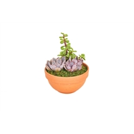 130mm Terracotta Pot With Assorted Succulent Plants