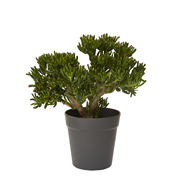 300mm Crassula Species - Crassula sp.