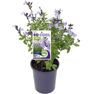 140mm Salvia So Cool Lilac