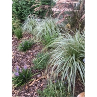 140mm Sedge - Carex oshimensis Feather Falls