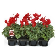 125mm Red Cyclamen - Cyclamen hybrid - 8 Tray