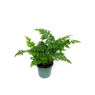 130mm Leather Fern - Rumohra adiantiformis