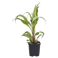 140mm Assorted Aquatic Plants 'Water Plant Range'