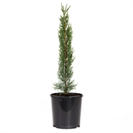 250mm Conifer 'Green Pencil' - Cupressus sempervirens Glauca
