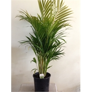 250mm Golden Cane Palm - Dypsis lutescens