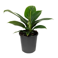 170mm Imperial Green - Philodendron erubescens