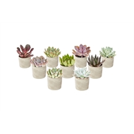 65mm Succulent With Cylinder Pot