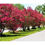 45L Crepe Myrtle Tonto - Lagerstroemia