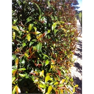 500mm Brush Cherry Lilly Pilly- Syzygium australe