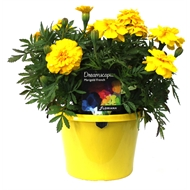 170mm Marigold Yellow - Tagetes patula