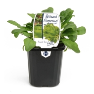 95mm Spinach Perpetual - Beta vulgaris - Food For Life Range