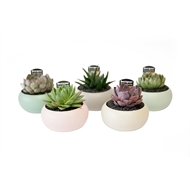 130mm Assorted Single Succulent With Round Bowl