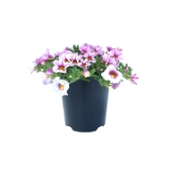 140mm Calibrachoa Double Regal Passions Range