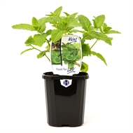 95mm Mint Common - Mentha spicata - Food For Life Range