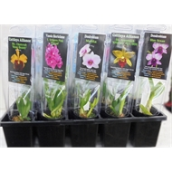50mm Orchid Poly Pack - Cymbidium hybrids