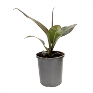 170mm Imperial Red - Philodendron erubescens - Easy Care Range