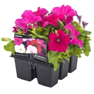 Flowering Seedlings 'Fusion Range' - 6 Cell Punnet
