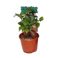100mm Pot Bellied Fig - Ficus microcarpa