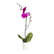120mm Moth Orchid - Phalaenopsis Orchid with Ceramic Pot